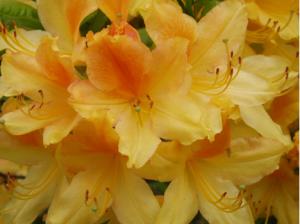 rhododendron-camellia-1