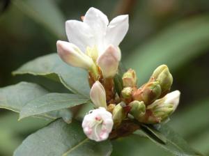 rhododendron-camellia-10