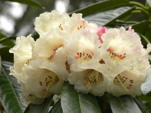 rhododendron-camellia-9